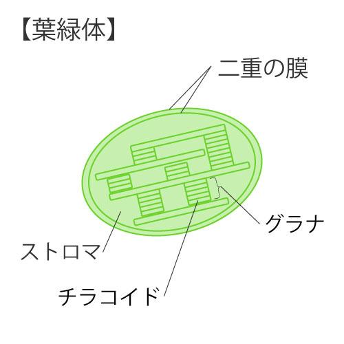 細胞の構造③葉緑体