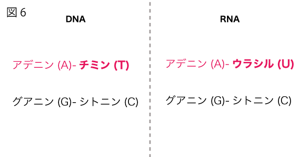 DNAとRNAのヌクレオチドにおける相補的に結合する塩基対の違い