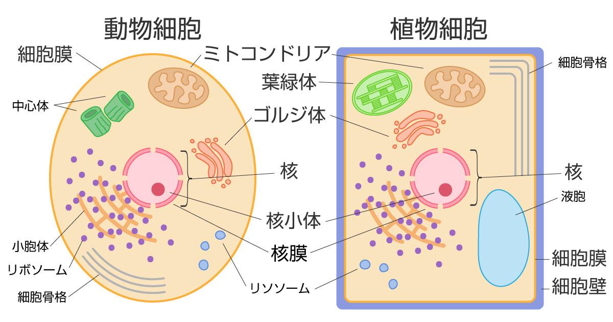 細胞鵜の構造を役割・働きを紹介!動物細胞、植物細胞の細胞小器官の名前の図