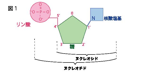 ヌクレオチドとヌクレオシドの構造図
