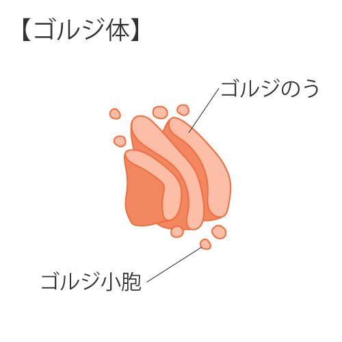 細胞の構造④ゴルジ体