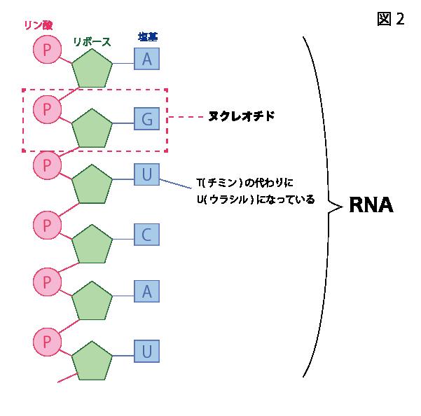 ヌクレオチドが1本につながってRNAとなっている図