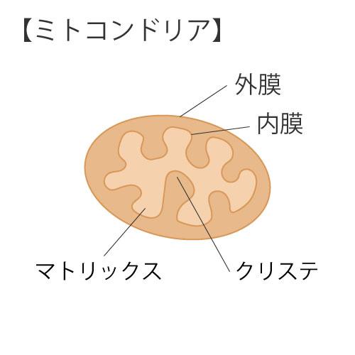 細胞の構造②ミトコンドリア