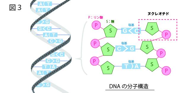 DNAのヌクレオチドと二重らせん構造