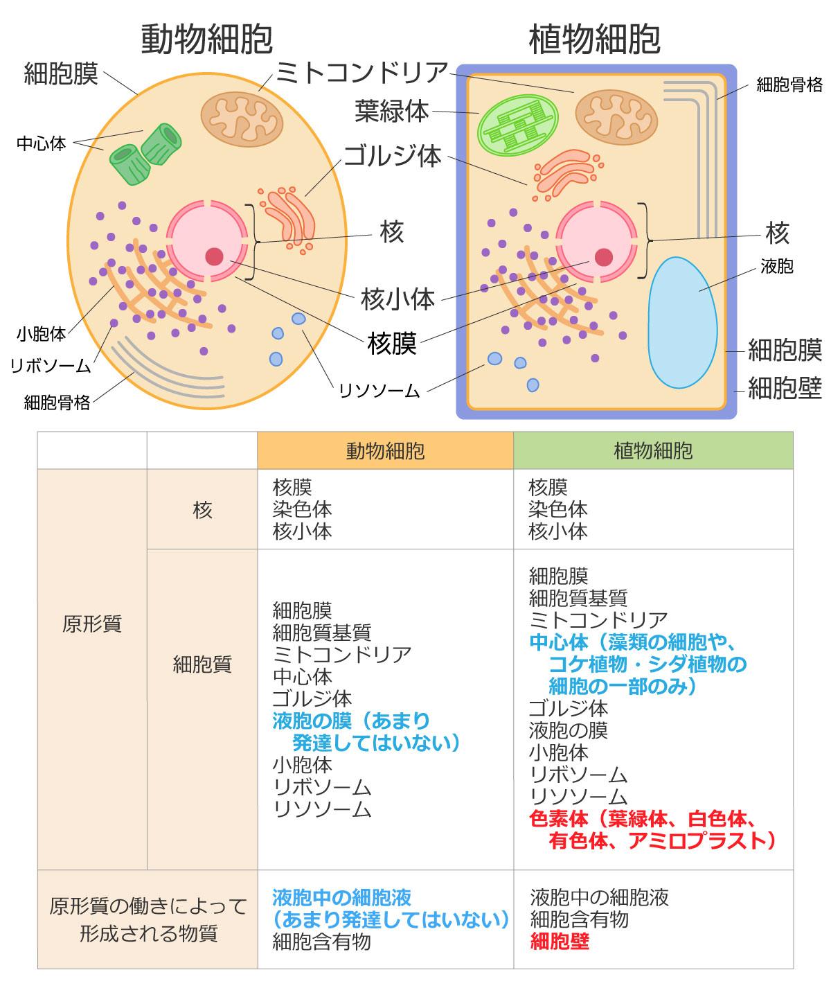 動物細胞と植物細胞の違い、構造の図