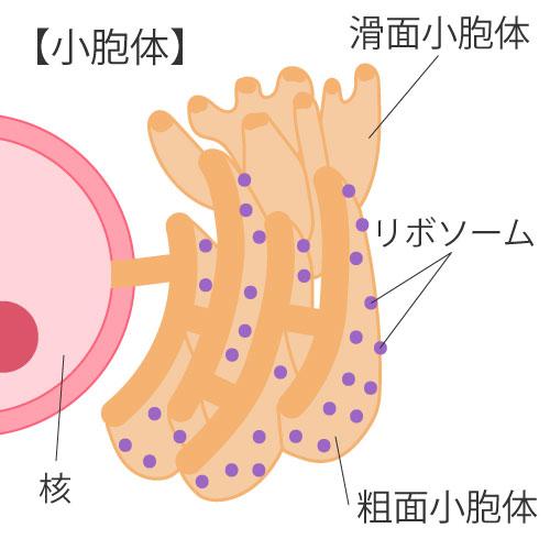 細胞の構造⑥小胞体