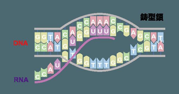 DNAの遺伝情報がmRNAに転写される図