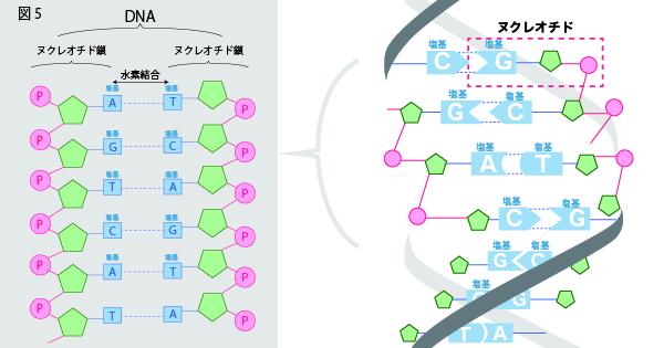 DNAの構造を徹底解説!~塩基の種類から発見の歴史まで~⑤ヌクレオチド鎖