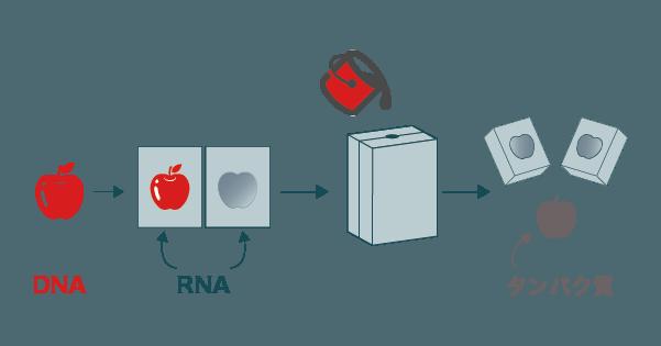 タンパク質の合成におけるRNAの役割