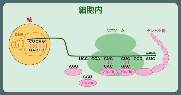 mRNAの遺伝情報が翻訳され、アミノ酸が連なってタンパク質が合成される図