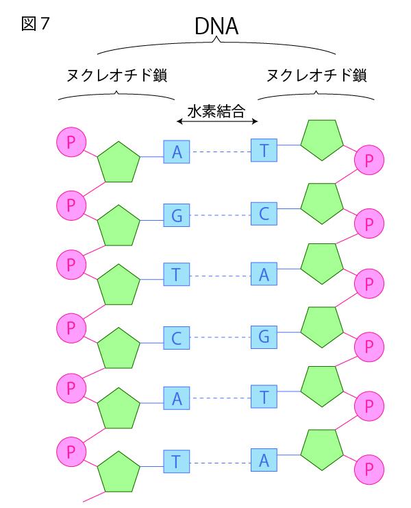 DNAの構造を徹底解説!~塩基の種類から発見の歴史まで~⑦ヌクレオチドの塩基