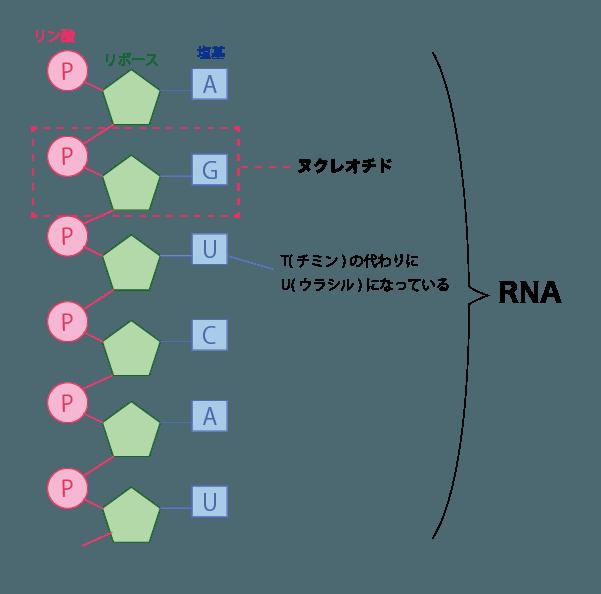 RNAの構造は1本のヌクレオチド鎖