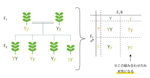 メンデルの法則の実験におけるF2世代の構造図