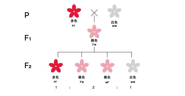 メンデルの法則の例外:不完全優性の図