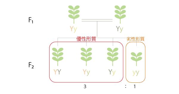 メンデルの法則②分離の法則の実験図