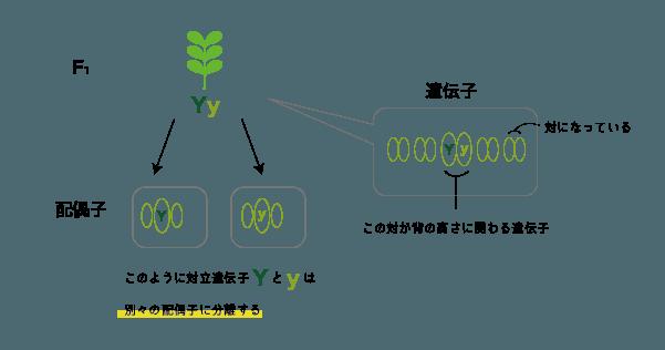 配偶子と遺伝子の関係