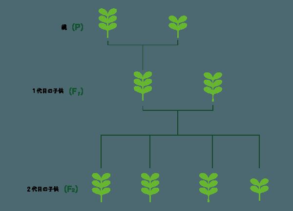 F2世代での対立形質の性質構造