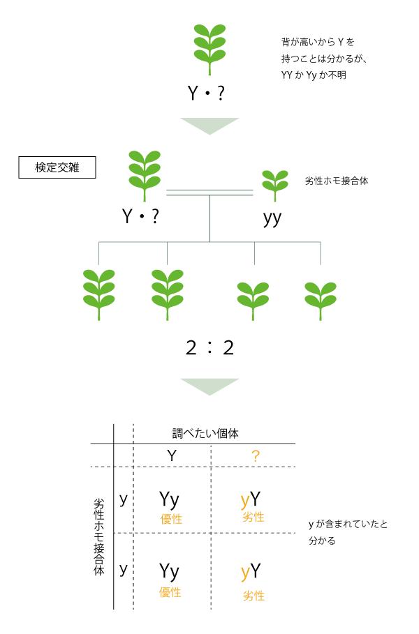 メンデルの法則に基づく検定交雑の図