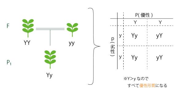 メンデルの法則の実験におけるP1世代の構造図