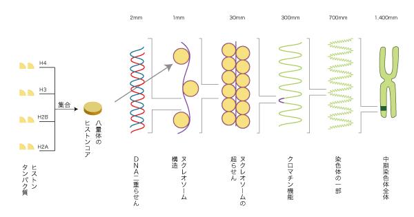 染色体 解説