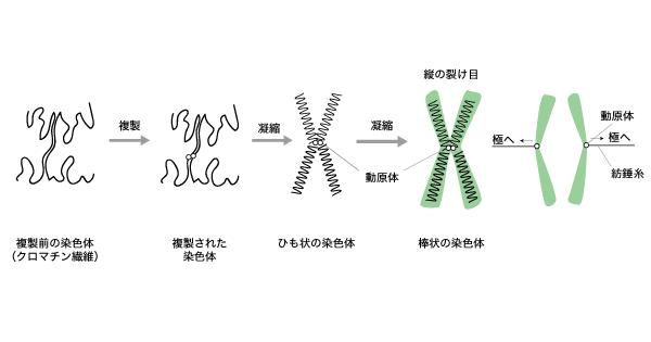 細胞分裂 解説