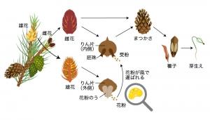 裸子植物 解説