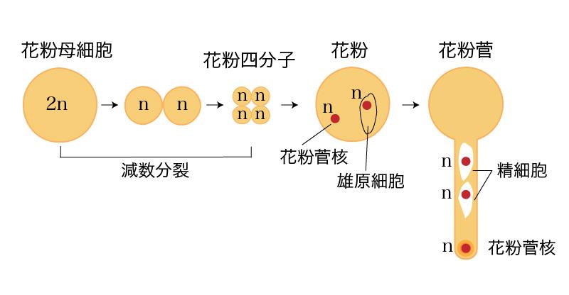 裸子植物の雄性配偶子が作られるまで(花粉母細胞、花粉四分子、花粉管)の解説画像