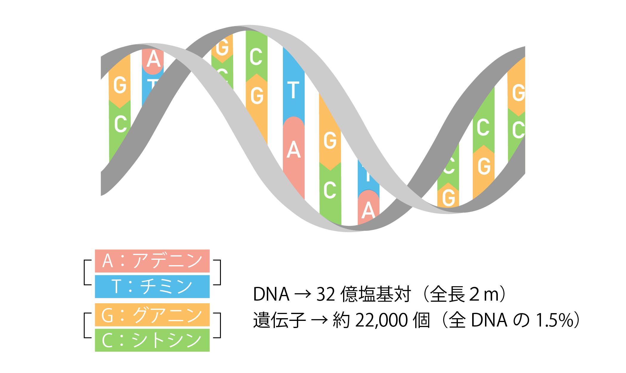 セントラルドグマ①DNAの構造