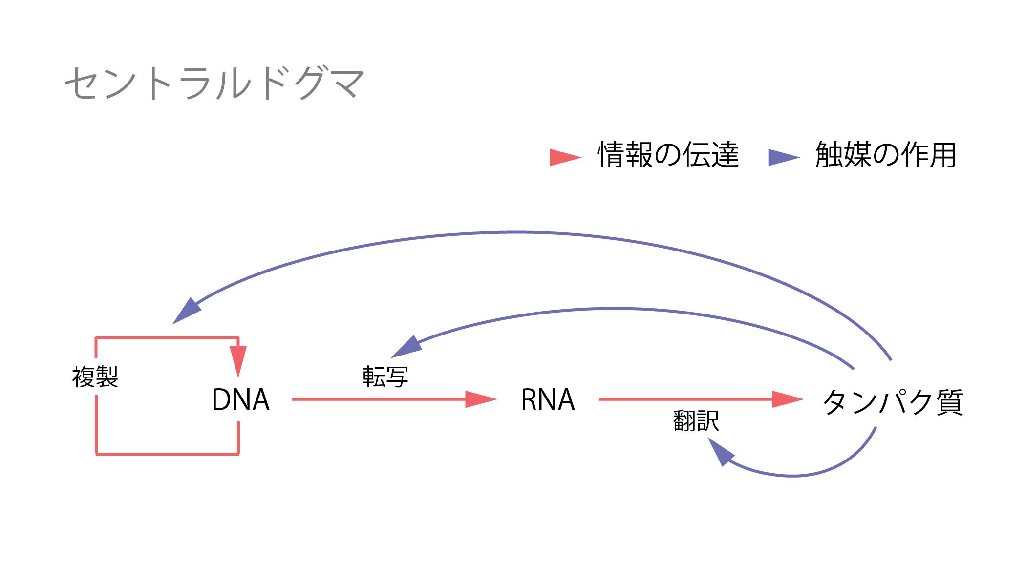 セントラルドグマ②転写と翻訳