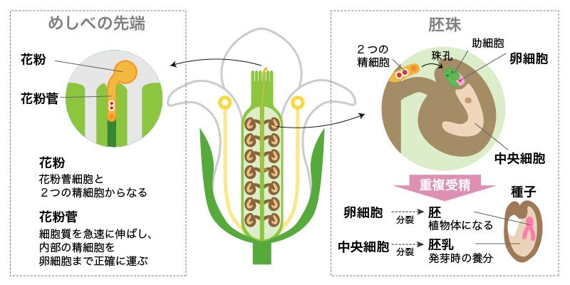 裸子植物と被子植物の受精(重複受精)の違い