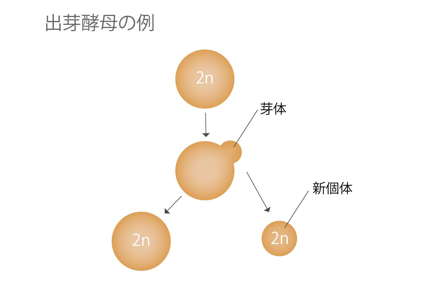 無性生殖 酵母