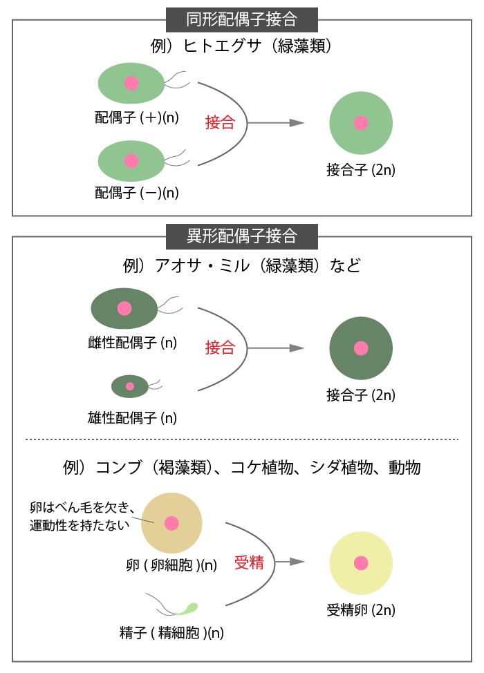 有性生殖②有性生殖の配偶子形成の過程と接合