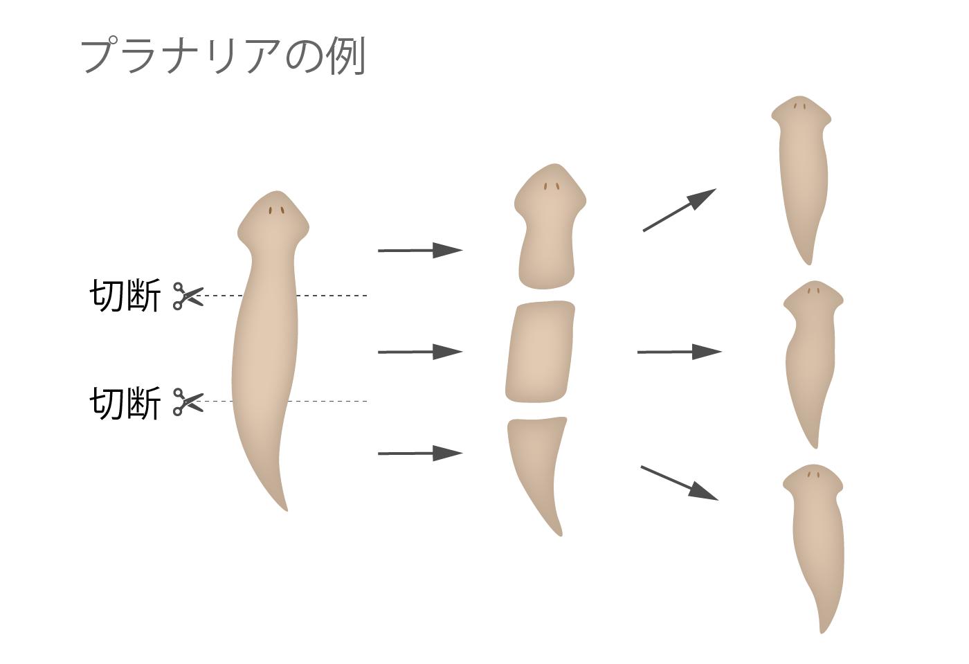 無性生殖 プラナリア