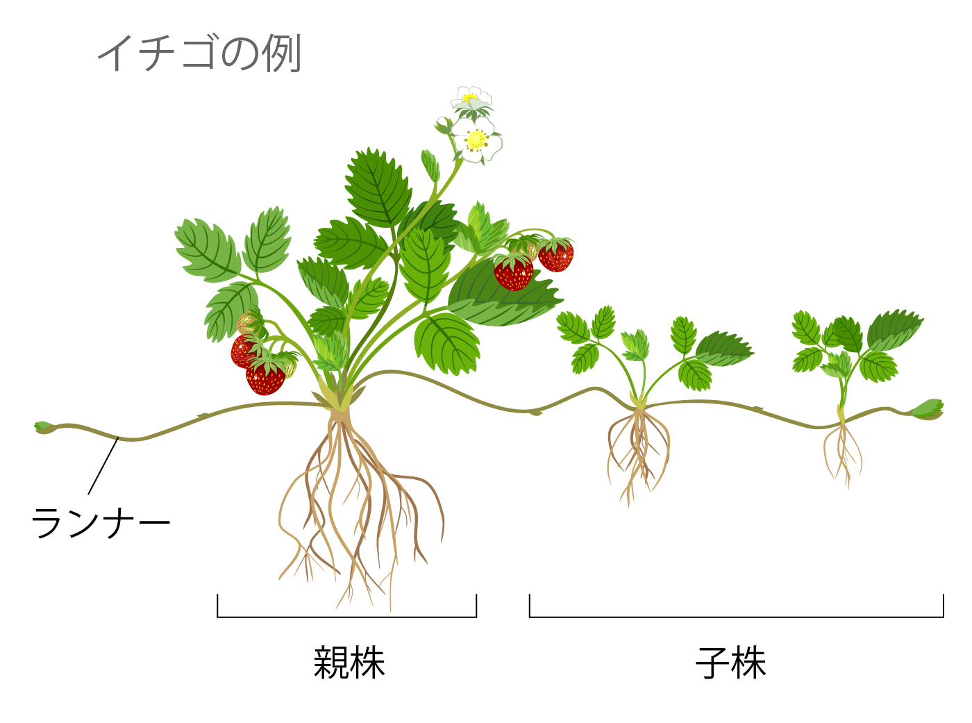 無性生殖 イチゴの例