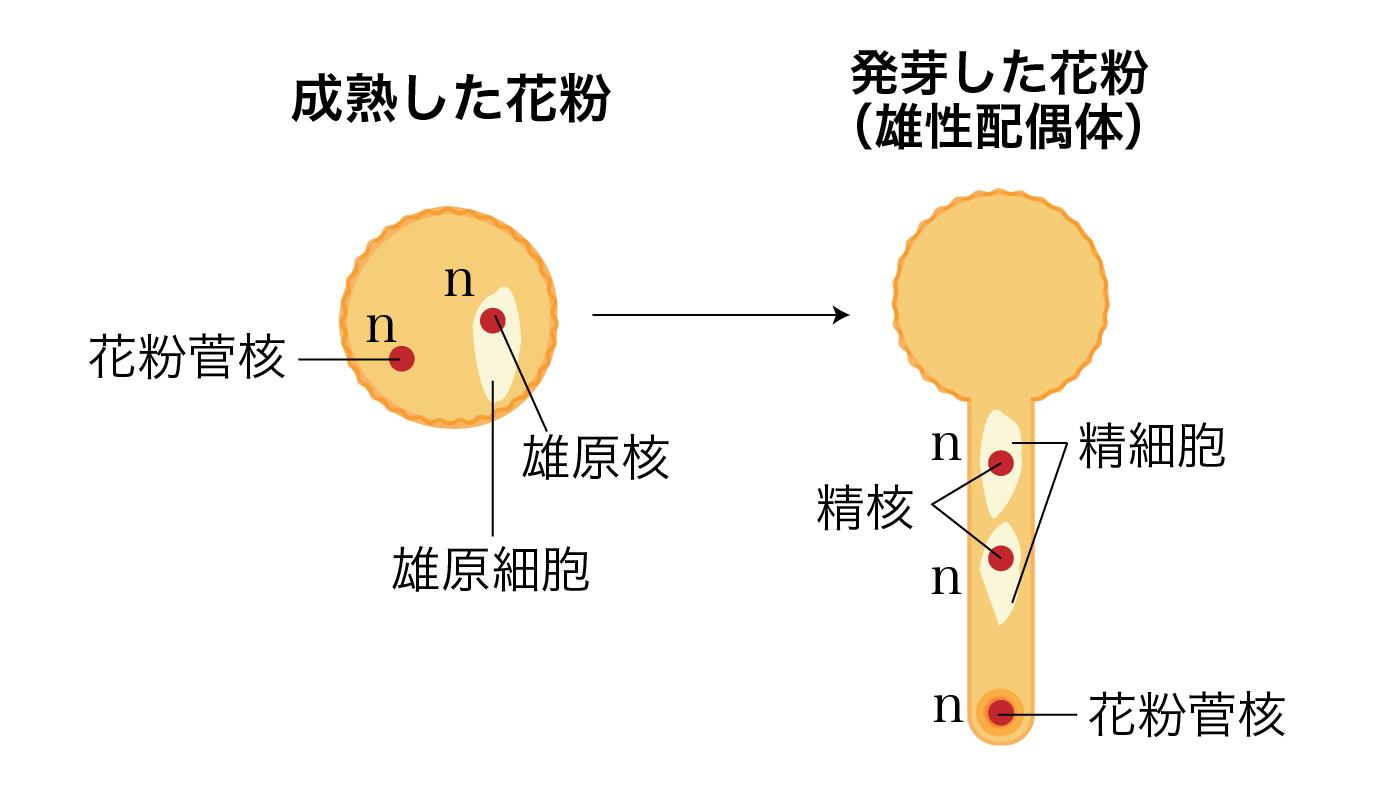 精細胞ができるプロセス
