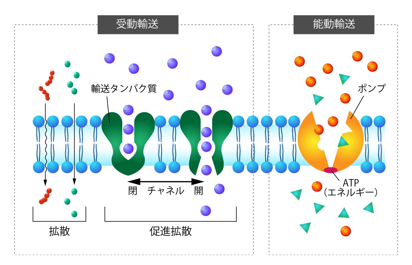 細胞膜の選択的透過性