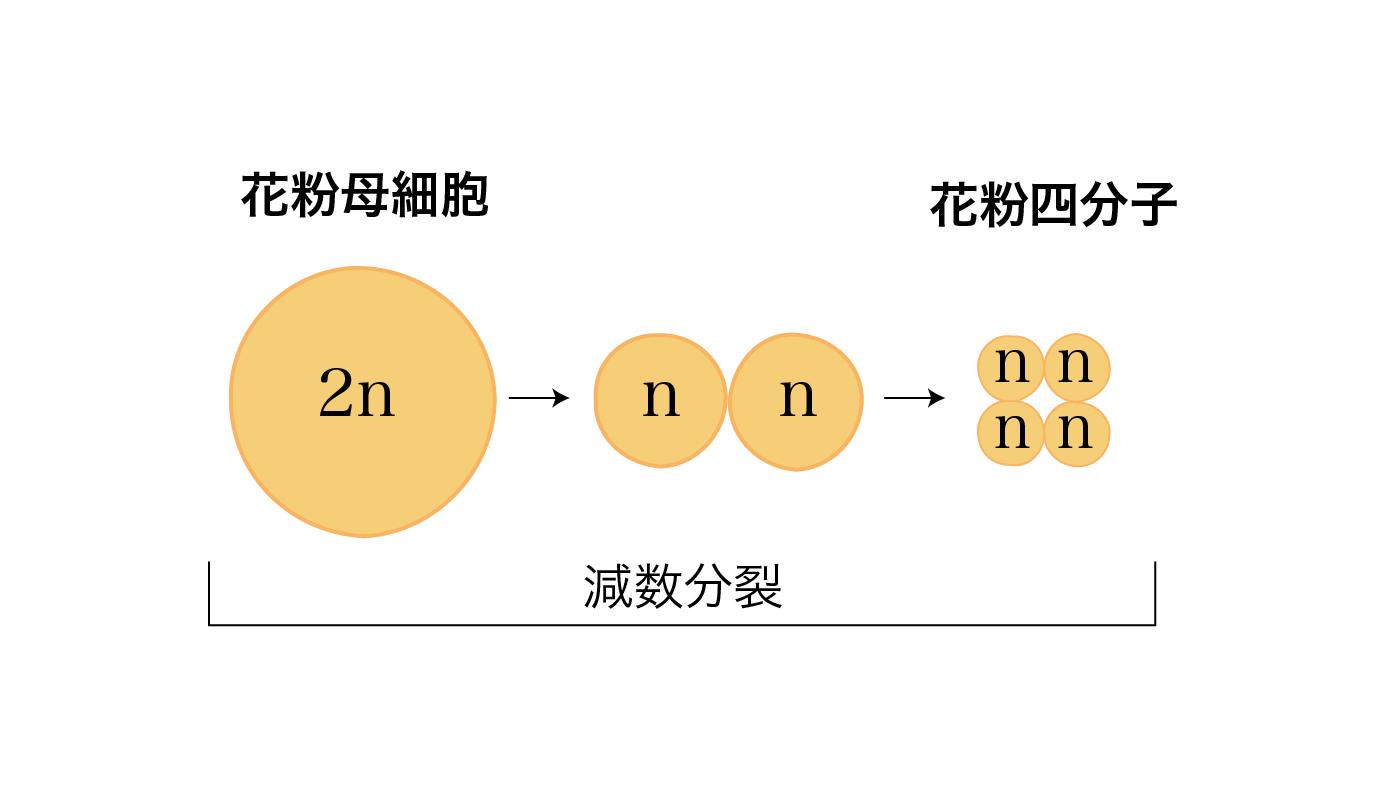 花粉四分子ができるプロセス