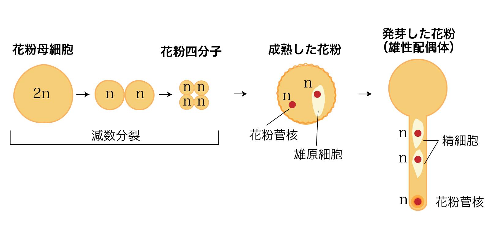 花粉の形成過程