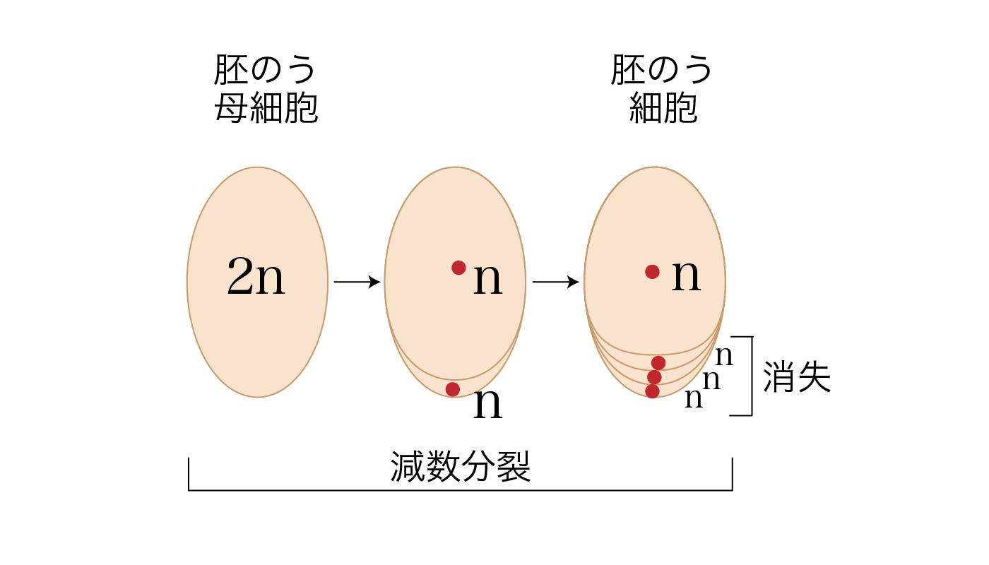 胚のう細胞(n)とその他の細胞(n)×3ができるプロセス