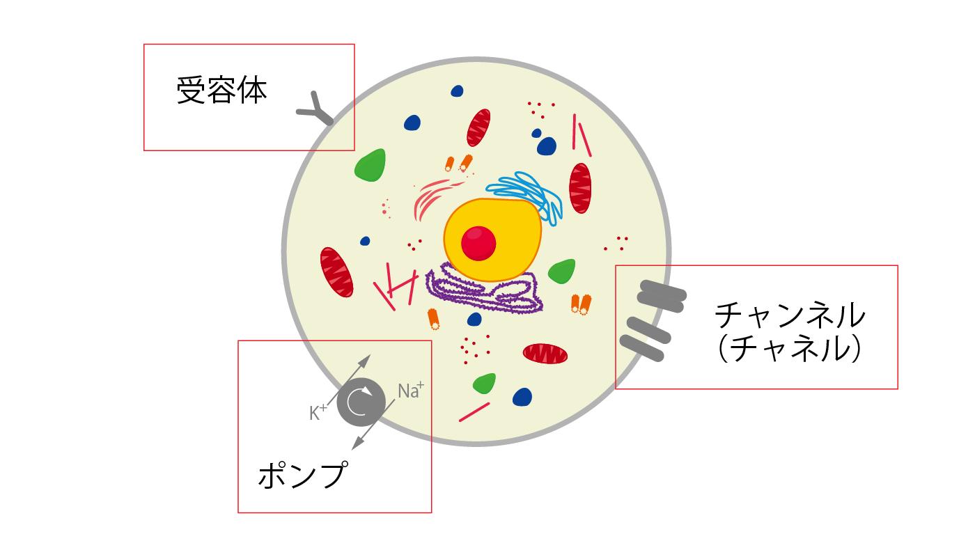 細胞膜の機能(受容体、チャネル、ポンプ)