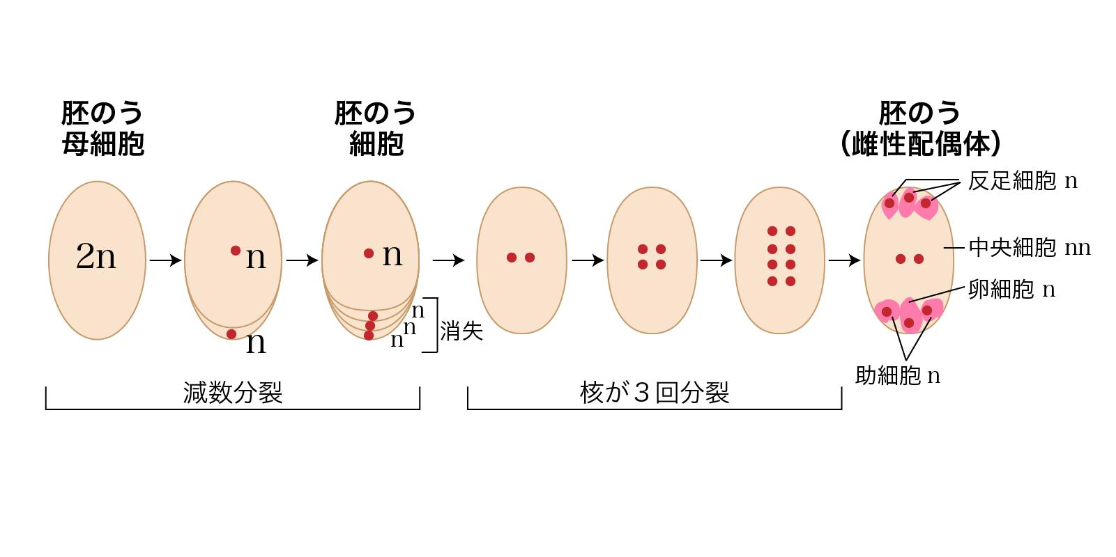 胚のうの形成過程