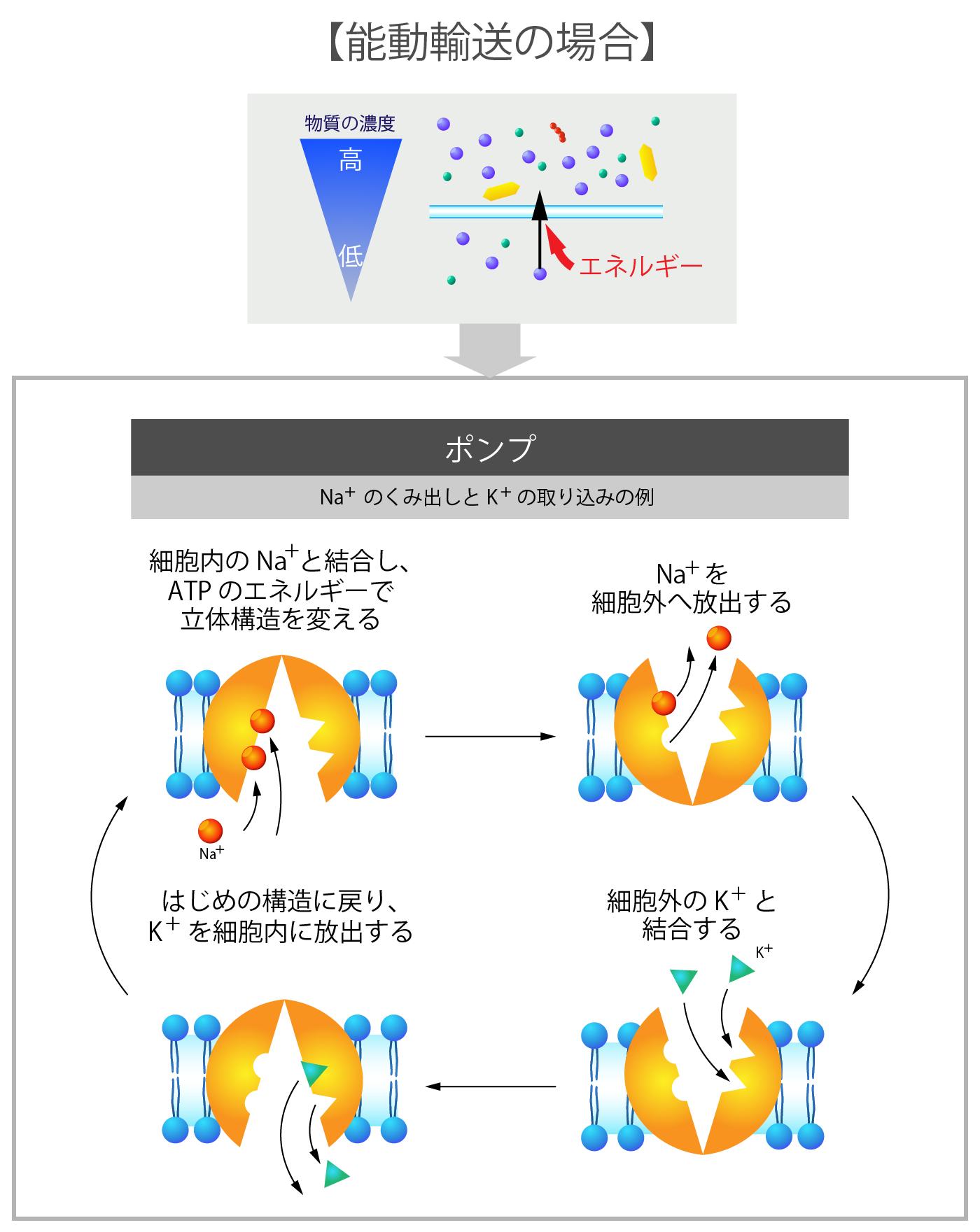 細胞膜の受動輸送