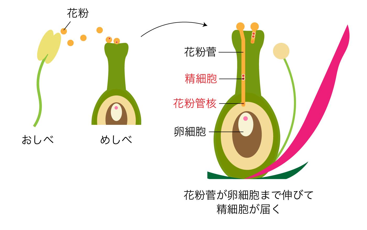 花粉管の形成と受精