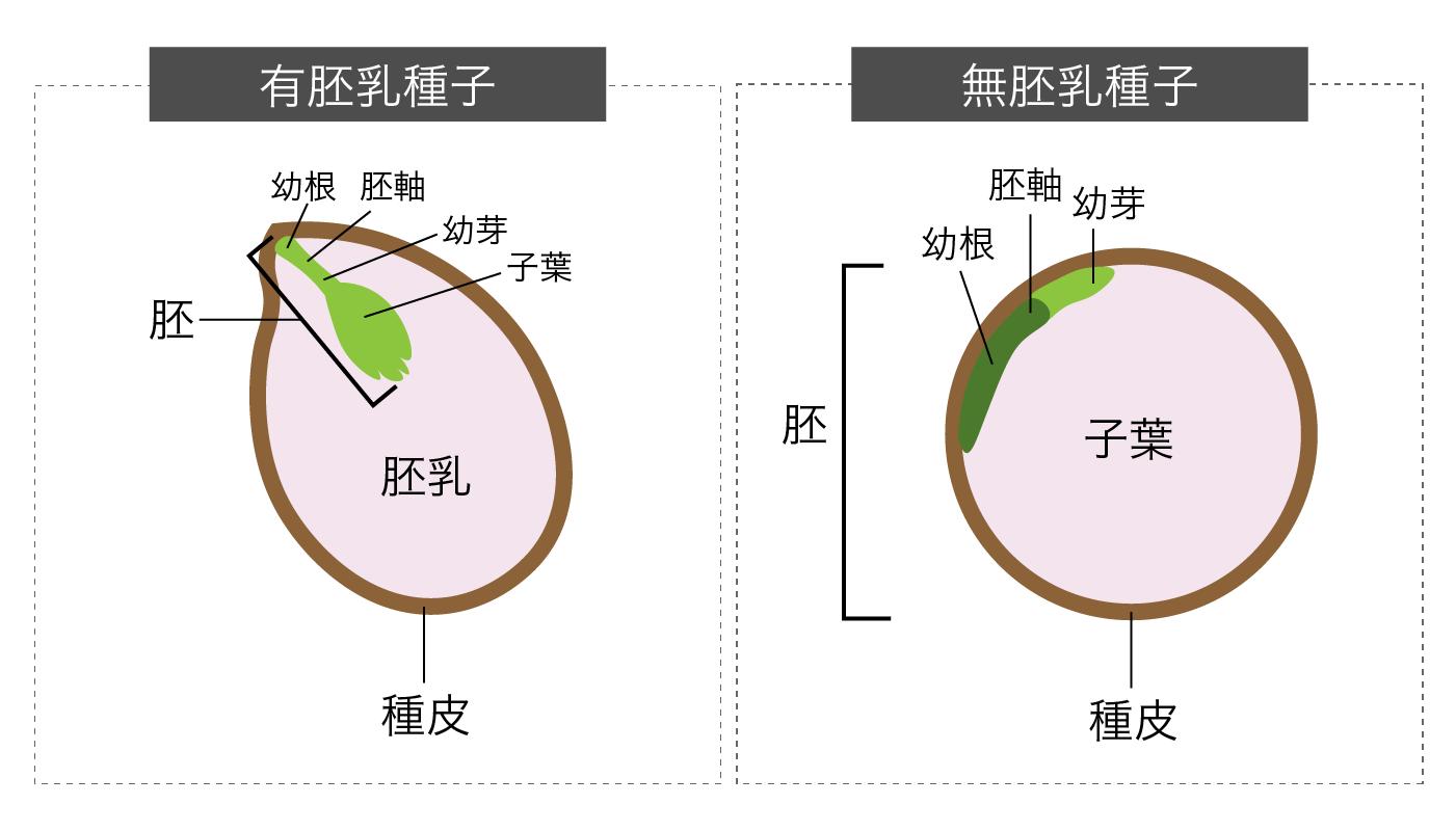 被子植物の胚乳の形成