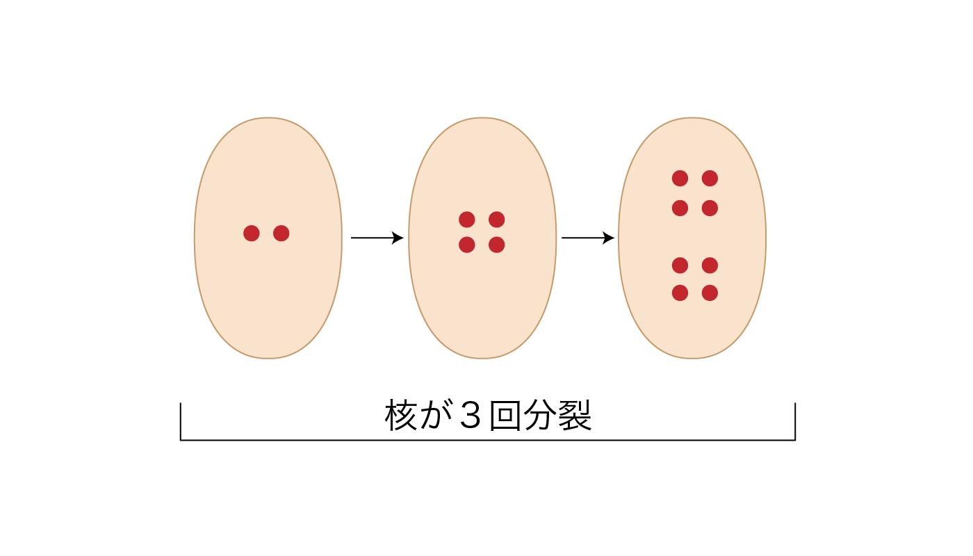 胚のう母細胞での核分裂プロセス