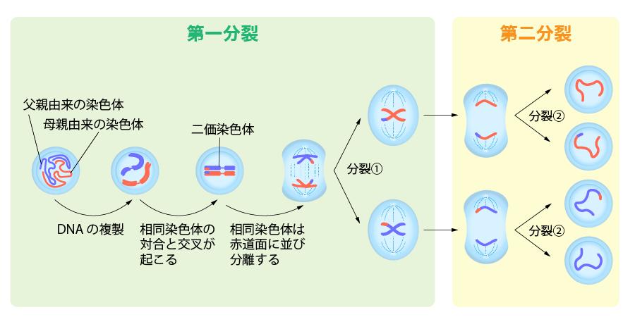 減数分裂 細胞周期