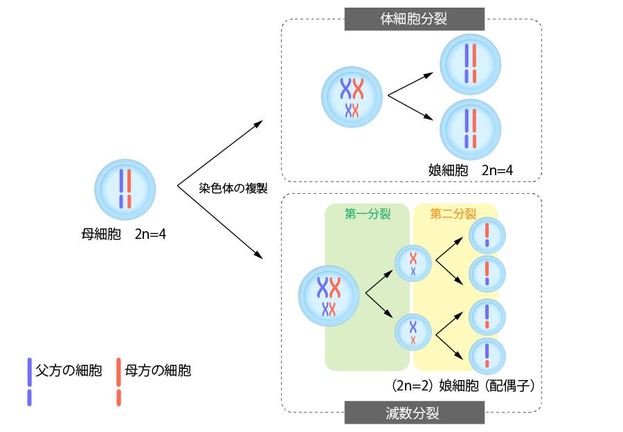 減数分裂と細胞分裂の図