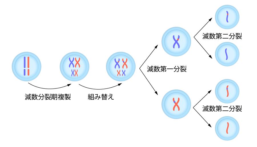 染色体の乗り換え