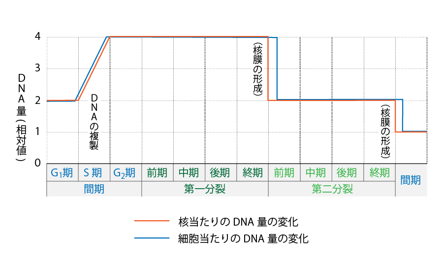 減数分裂 DNA 量 変化