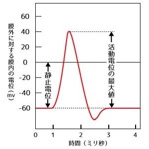 静止電位と活動電位